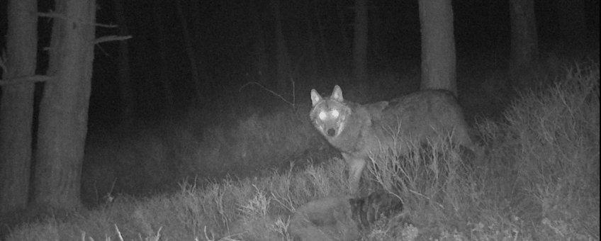 Wolf opgedoken op de Zuid-Veluwe