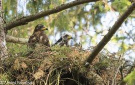Jongen van de wespendief in het nest