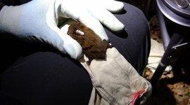 Gezenderde ruige dwergvleermuis UK (eenmalig gebruik WUR)