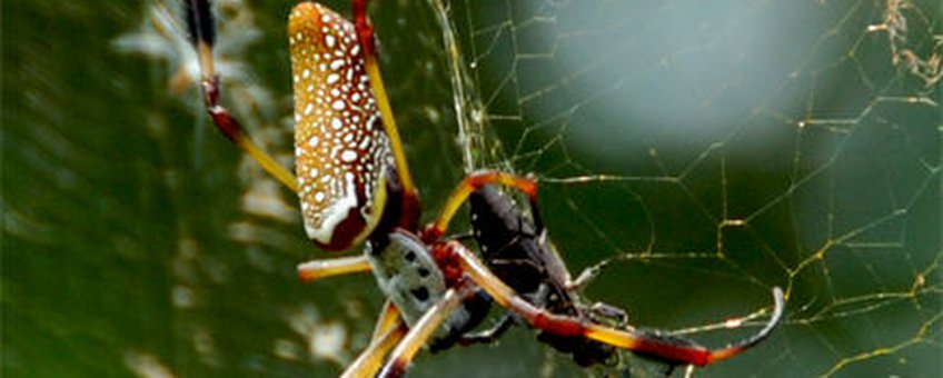 Golden Orb Weaver, GNU Free Documentation License. Andere namen: golden silk orb-weavers (genus Nephila) golden orb-weavers, giant wood spiders or banana spiders.