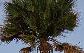 Bonaire Palm