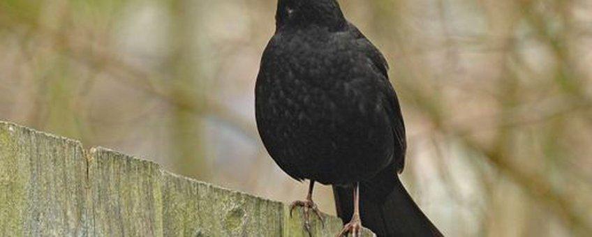Merel. Ruud van Beusekom, Vogelbescherming