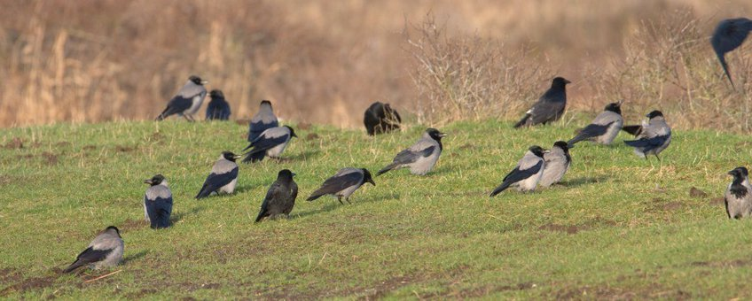 Corvus cornix. Bonte kraai