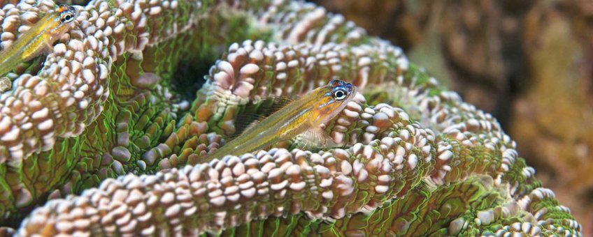 Pepermint Goby