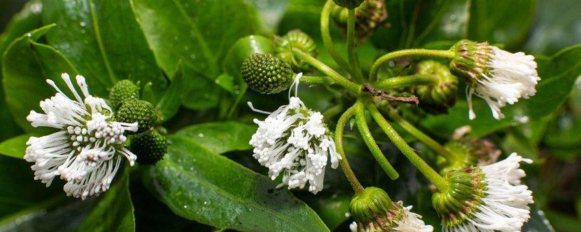 Smalle Theeplant, een exotische waterplant die op de exotenlijst EU staat