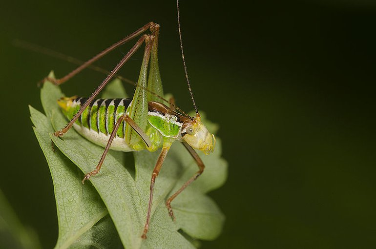 The Cretan Bright Bush-cricket (Poecilimon cretensis) is mentioned as not vulnerable on the Red List
