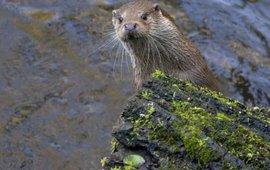 Otter Hugh Jansman, Alterra