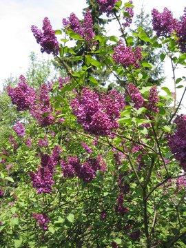 Lilac paarse sering, bloei