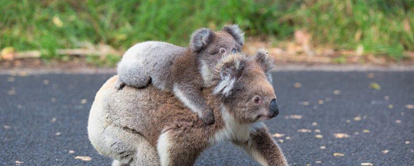 Koala met baby steekt de weg over