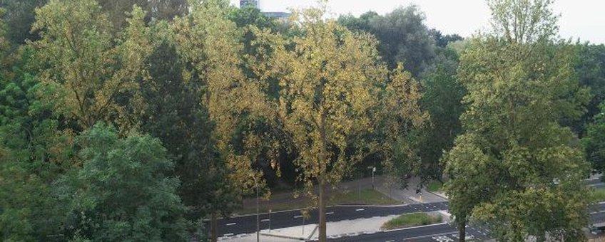 De door roest aangetaste gele populieren vallen op tussen de groene bomen