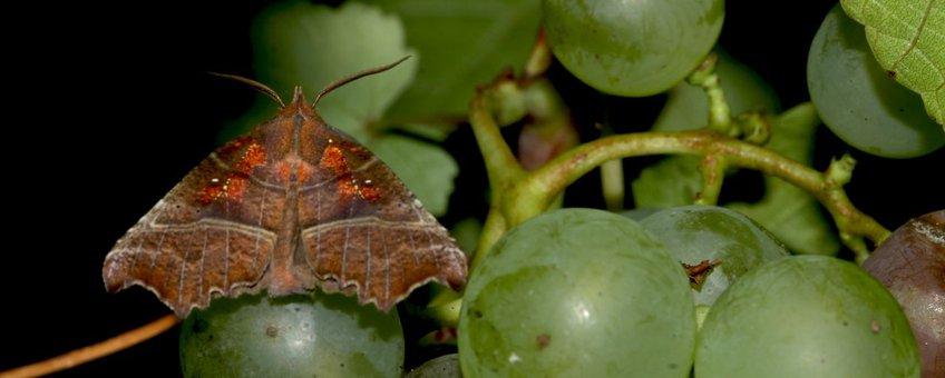 roesje druif primair