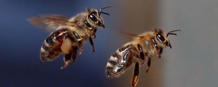 Honingbijen tijdens de vlucht