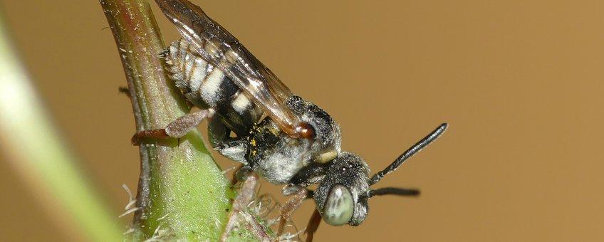 Een mannetje van de waddenviltbij.