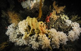 Koudwaterkoraal