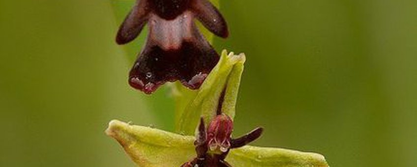Vliegenorchis (Ophrys insectifera).