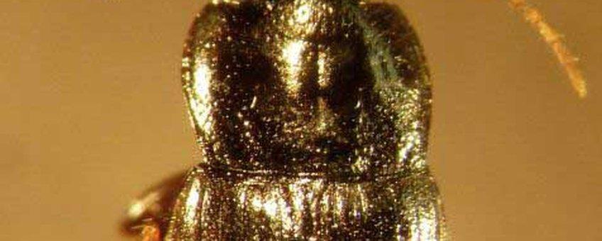 De bewuste Kaalkopkruiper. voor thumbnail