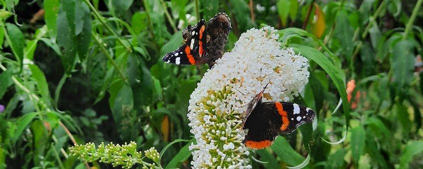 Atalanta's op vlinderstruik
