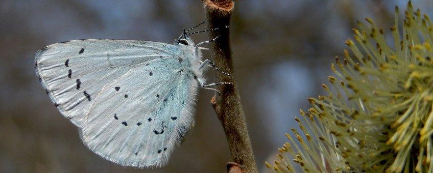boomblauwtje primair