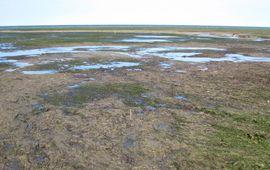 Massale zeegrassterfte door verdroging en het uiteenvallen van de samenwerking met de Lucinidae. Het sediment in de afstervende delen is pikzwart door ophopend giftig sulfide