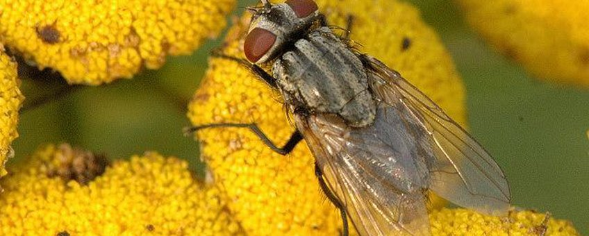 Herfstvlieg Musca_autumnalis_female James K. Lindsey creative commons lisence.jpg