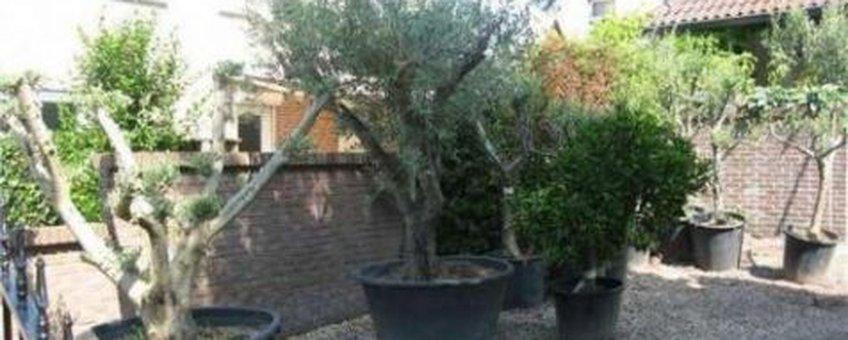 Olijfboom in tuin