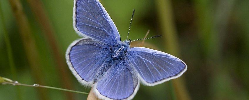 Polyommatus icarus. Icarusblauwtje