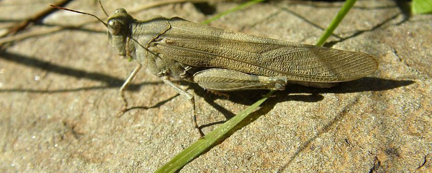Blue Sand-grasshopper (Sphingonotus caerulans subsp. caerulans) Kiezelsprinkhaan