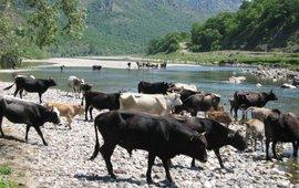 Wilde runderen in Rhodopen VOOR EENMALIG GEBRUIK