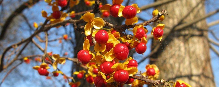Vruchten van de Boomwurger in de herfst (Fukushima, Japan).