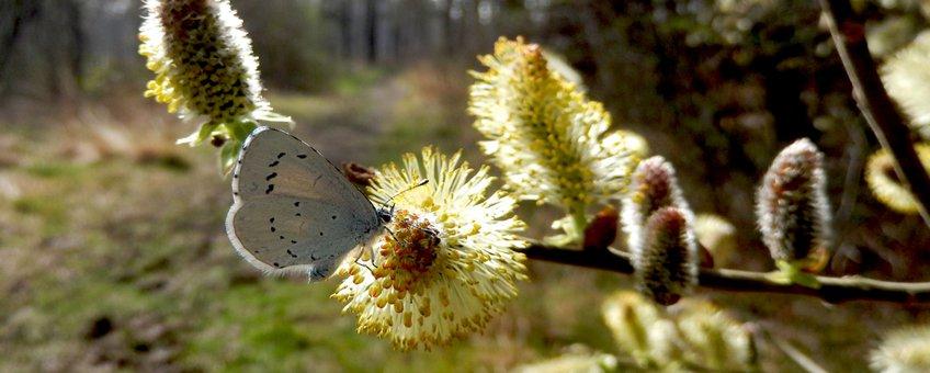 boomblauwtje wilg - primair