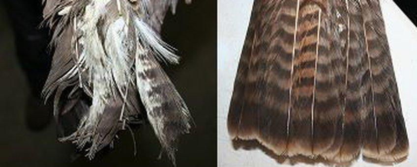 voor en na extensions buizerd