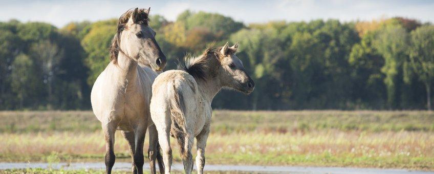 Konikpaarden bij Borgharen EENMALIG GEBRUIK