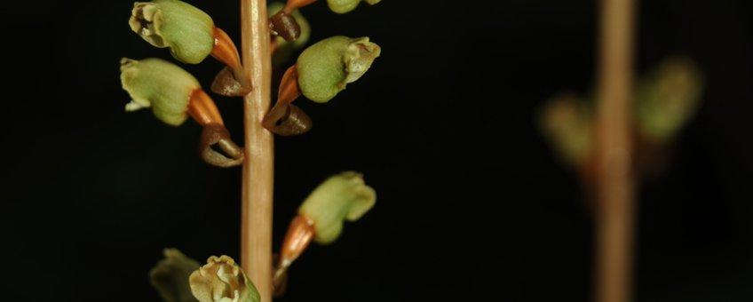 De bladloze orchidee Gastodia elata is volledig mycoheterotroof