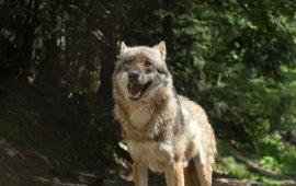 Observerende wolf