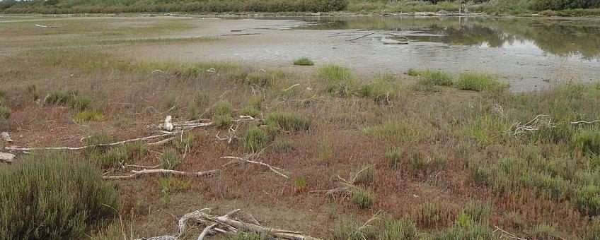 Een schor langs de Adriatische kust waar slijkgras voornamelijk is vervangen door zeekraal