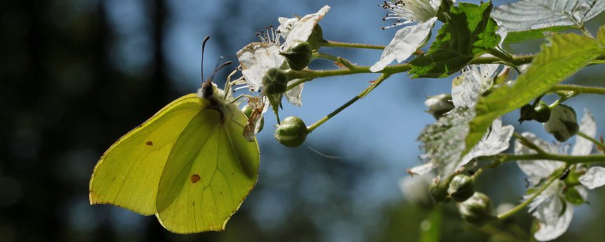 citroenvlinder - primair