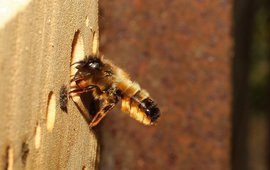 De rosse metselbij is in totaal 12.971 keer geteld, en staat daarmee op de tweede plek van meest gespotte bijen en zweefvliegen.