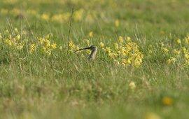 Gulden sleutelbloemen in grasland (Estland)