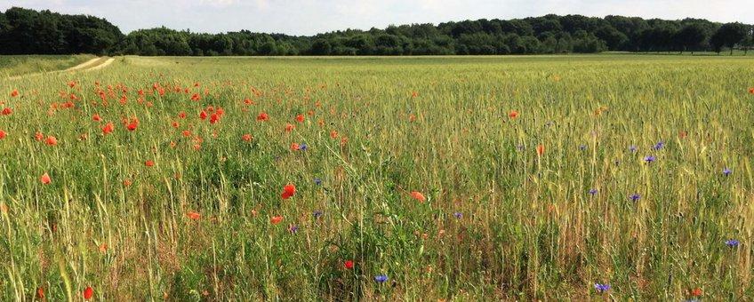 Florarijke akker in Midden-Limburg