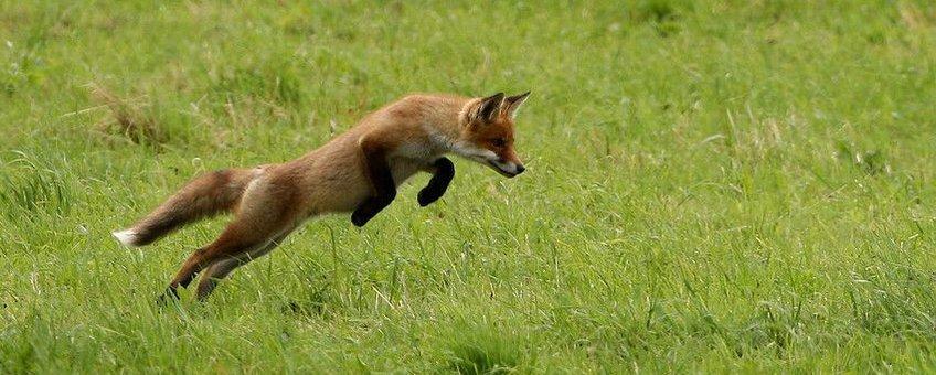 De vos kan net als honden drager zijn van de vossenlintworm, maar het voorkomen van de lintworm is vooralsnog beperkt in Vlaanderen