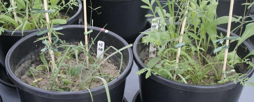 Experiment 1 droogte tijdens groei 2