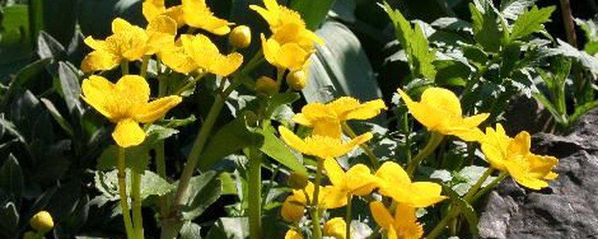 Dotterbloem bloei, foto Arnold van Vliet