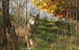 Wolf in Limbourg 2009 VOOR EENMALIG GEBRUIK