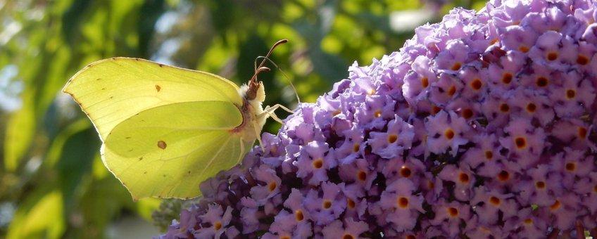 citroenvlinder vlinderstruik - primair