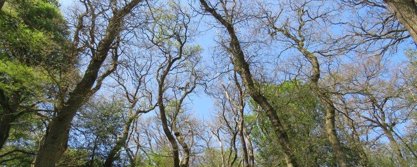 Herstellende eikenbomen na kaalvraat