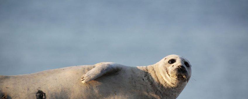 eenmalig gebruik - gewone zeehond