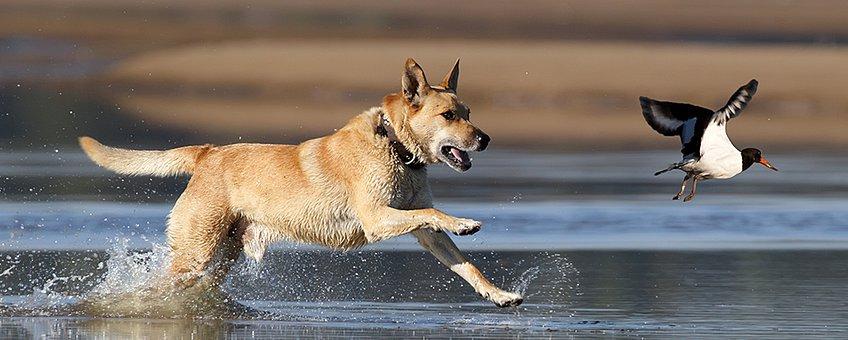 Hond verstoort scholekster header