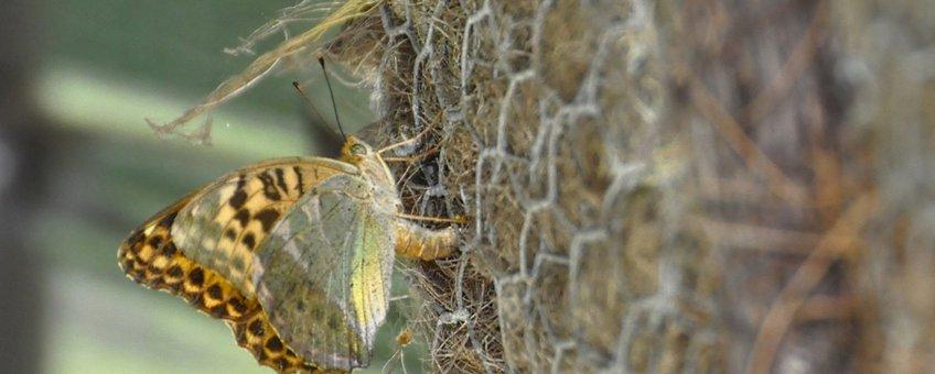 keizersmantel zet eitjes af - primair