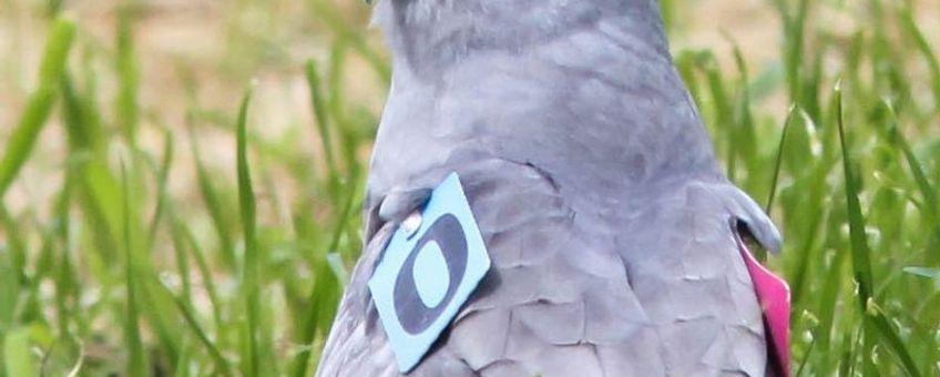 Mannetje Grauwe Kiekendief met vleugelmerken.