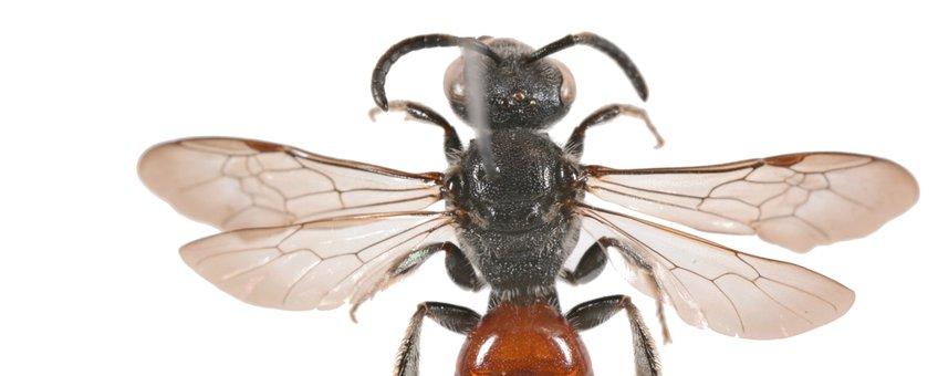 De kraagbloedbij Sphecodes spinulosus van Rhoon
